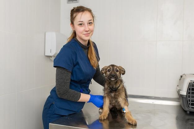 한 여성 수의사가 수의과 클리닉의 테이블에서 그의 발에 카테터가 달린 작은 노숙자 순종 강아지를 검사합니다.