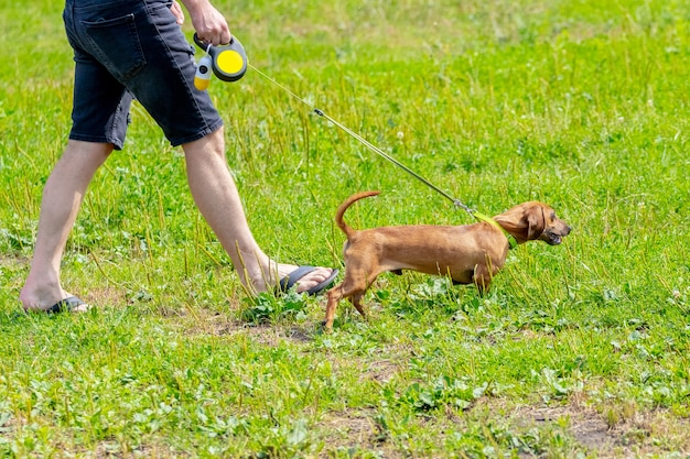 茶色のダックスフント犬を連れた女性が公園を散歩します。茶色のダックスフントが女性の隣の芝生を横切って走る