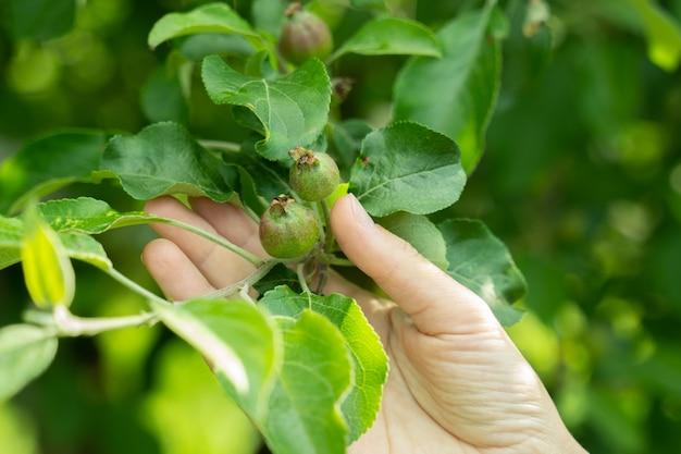 Женская рука трогает красивое маленькое зеленое яблоко на ветке дерева
