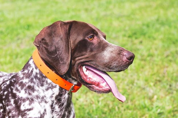 品種ジャーマンショートヘアードポインターの素晴らしい若い犬、プロフィールの犬のクローズアップの肖像画