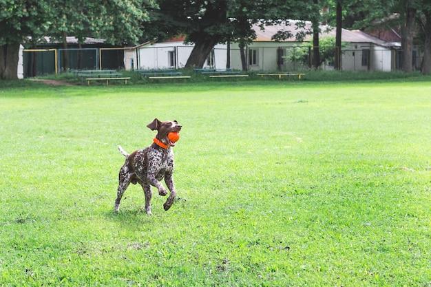 彼の歯にボールを持って草の上を走っている品種ジャーマンショートヘアードポインターの素晴らしい若い犬_