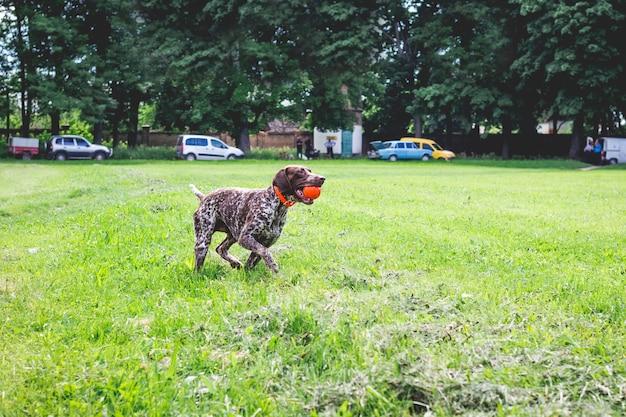 彼の歯にボールを持って草の上を走っている品種ジャーマンショートヘアードポインターの素晴らしい若い犬