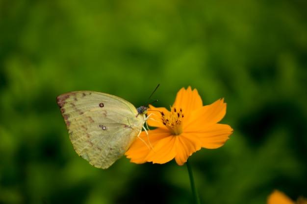 黄色い花に黄色い草の蝶と美しい背景の蜜を飲む