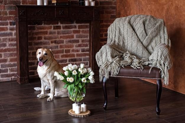 Щенок лабрадора ретривера желтого цвета сидит рядом с вазой с тюльпанами возле кресла, на котором лежит плед