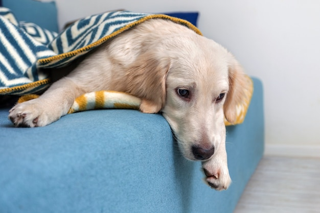 노란색 래브라도 리트리버가 이불 아래 침대에 누워있었습니다. 개 품종 골든 리트리버. 애완 동물.
