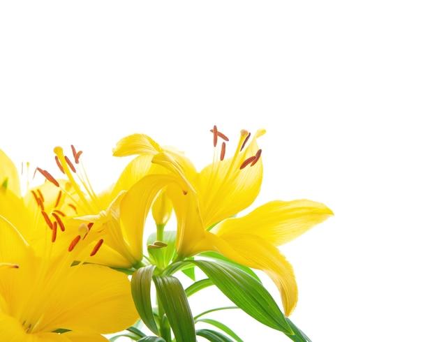 흰색 표면에 장식 노란색 백합 꽃