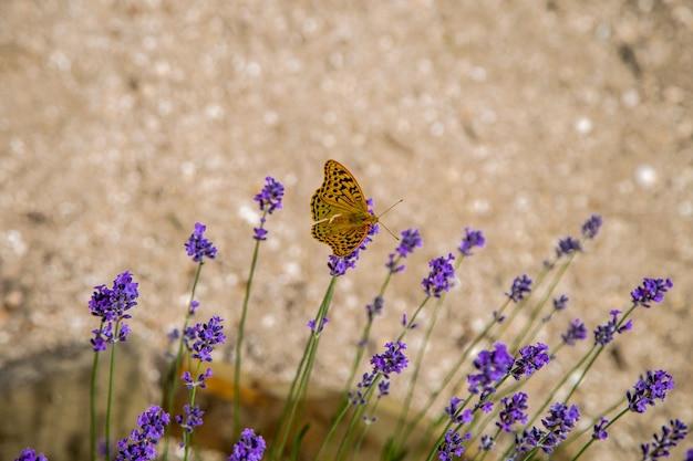 Желто-оранжевая бабочка сидит на ярко-фиолетовых цветках лаванды. . фото высокого качества
