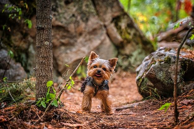 Щенок йоркширского терьера гуляет в каменистом лесу