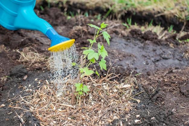어린 까치 덤불은 물 뿌리개에서 물을 뿌립니다.
