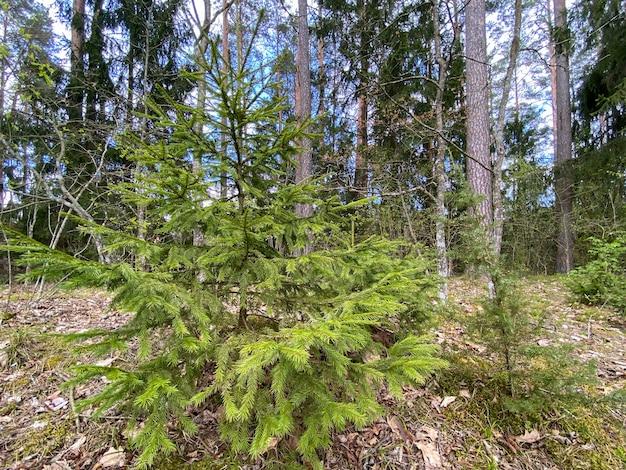 В лесу растет молодая елка на фоне старых елок