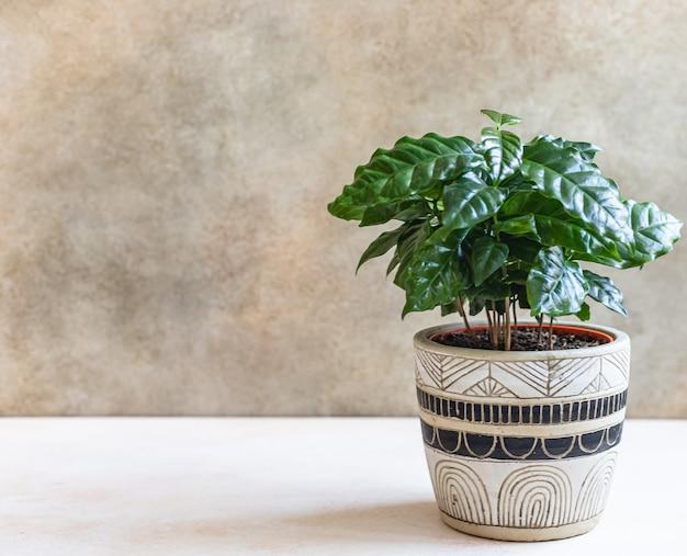 Молодое кофейное дерево растет в кофейне с горшком или в концепции домашнего садоводства