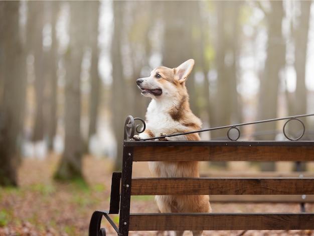 若いコーギー犬が秋の公園で飼い主と一緒に歩く