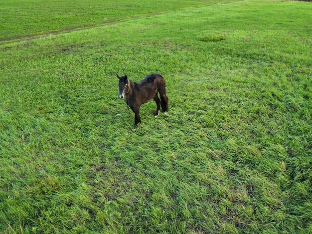 어린 암갈색 말 한 마리가 봄 초원에서 풀을 뜯고 있습니다. 애완 동물을위한 목초지. 농장. 승마 동아리. 승마.