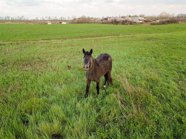어린 암갈색 말 한 마리가 봄 초원에서 풀을 뜯고 있습니다. 애완 동물을 위한 목초지