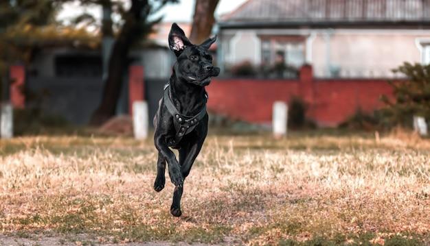 若い犬、カネコルソイタリアーノは、住宅の建物を背景にクリアリングを駆け抜けます。品種は大型犬です。夏のシーズン