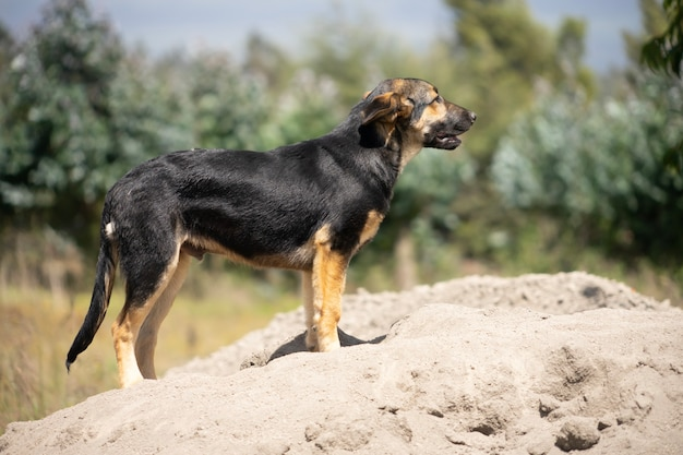 若いジャーマンシェパード犬