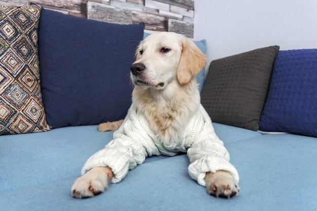 젊은 골든 리트리버 강아지는 소파에 누워있다