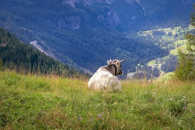 牧草地にいる若い灰色の牛は、イタリアアルプスのパノラマを眺めています