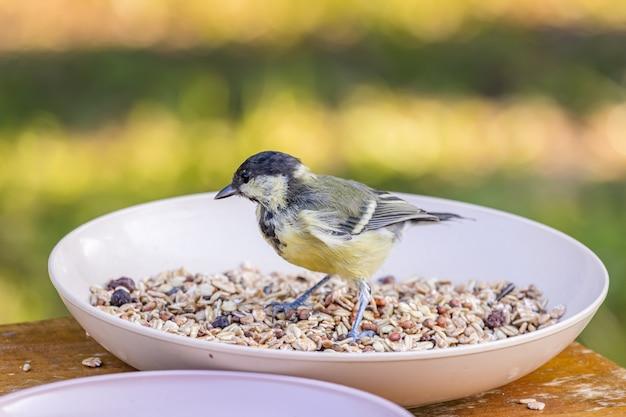 Молодая большая синица сидит в миске с семенами