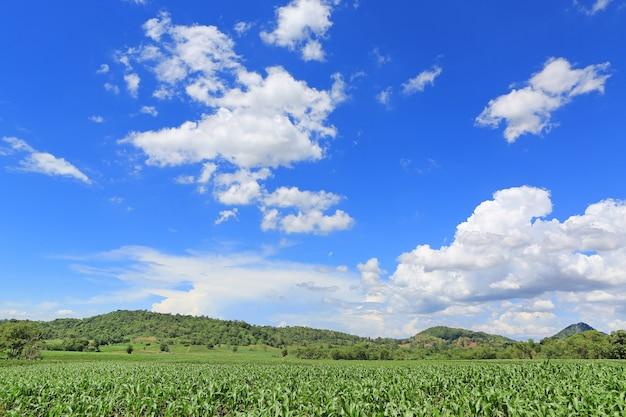 여름날 구름이 있는 푸른 하늘을 배경으로 한 어린 녹색 옥수수 밭