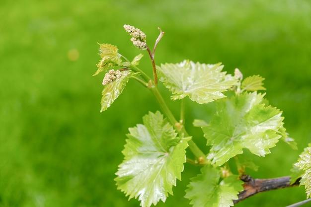 젊은 녹색의 신선한 포도 나무는 포도원에서 봄에 자랍니다.
