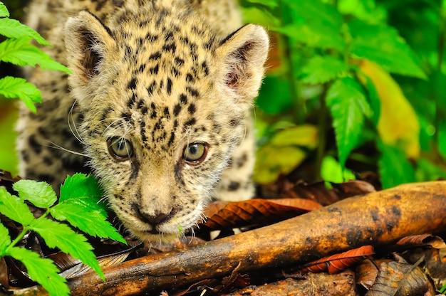 Молодой ягуар крадется в траве