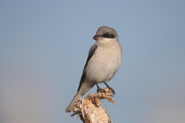 젊은 작은 회색 까치(lanius minor)는 밝은 푸른 하늘을 배경으로 식물의 마른 가지에 앉아 있습니다. 새의 클로즈업 상세 사진