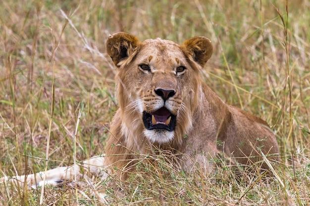草の上で休んでいる若いライオンサバンナマサイマラケニアアフリカ