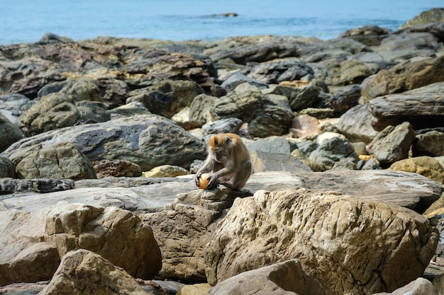 若いアカゲザルは岩の多い海岸に座って、ココナッツを持っています。