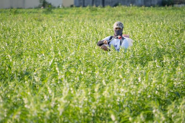 若い男性の農家のマスターは、朝の害虫や植物の病気を防ぐために、自分のゴマ畑に農薬(農薬)を噴霧しています。クローズアップ、西港、台南、台湾