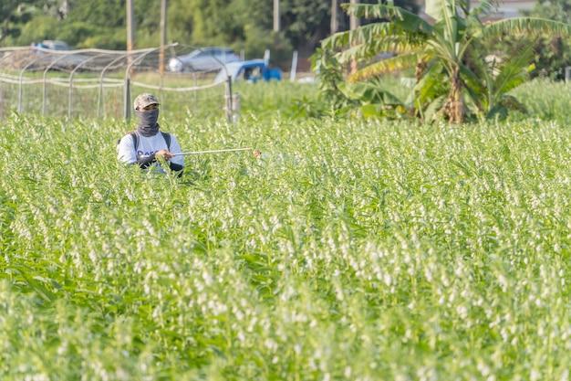 젊은 농부 마스터가 아침에 해충과 식물 질병을 예방하기 위해 자신의 참깨 밭에 살충제(농약 화학 물질)를 뿌리고 있습니다. 클로즈업, 대만 타이난 시강
