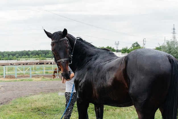 若い男が牧場で夏の日にサラブレッドの馬をホースで洗う。畜産、および馬の繁殖。