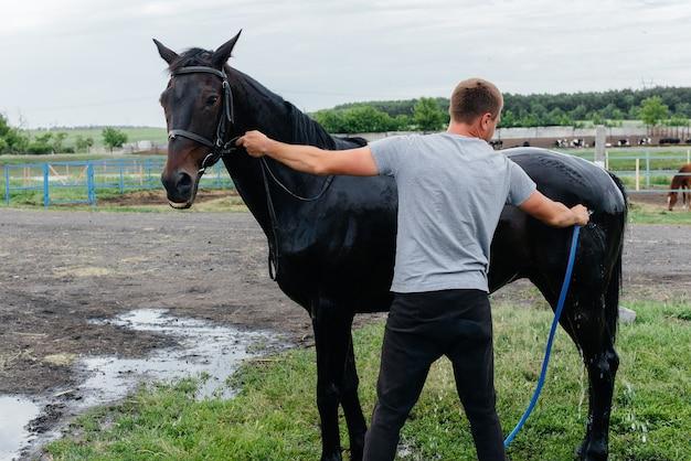 Молодой человек моет из шланга чистокровную лошадь в летний день на ранчо. животноводство и коневодство.