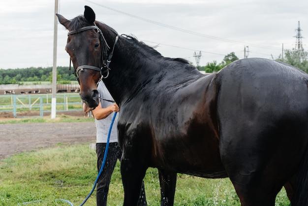 若い男が牧場で夏の日にサラブレッドの馬をホースで洗う