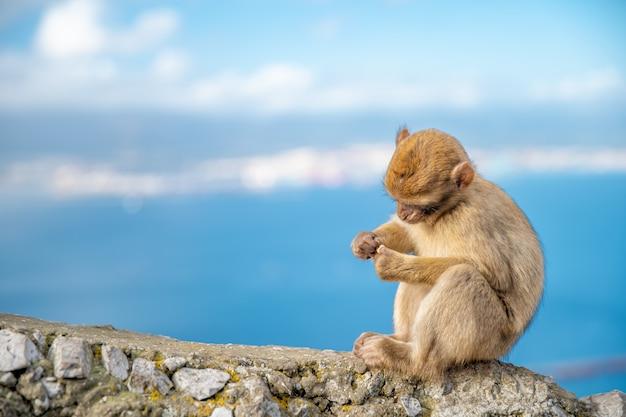 Молодая обезьяна сидит на краю обрыва на берегу моря. макака сильванус