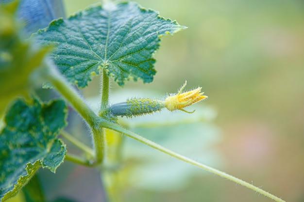 黄色い花を持つキュウリの若い子房。ソフトフォーカス。葉の背景にジューシーな新鮮なキュウリのクローズアップマクロ