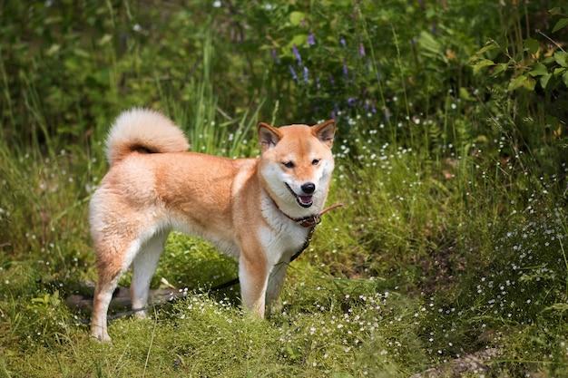 森の中の緑の芝生の上を歩く若い赤い犬柴犬