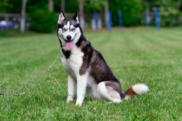 若いシベリアンハスキーのオス犬が乾いた草の上に座っています。