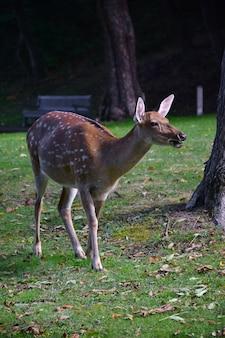 若いニホンジカが秋の公園を歩いています。ぼやけた背景のラウンジベンチ