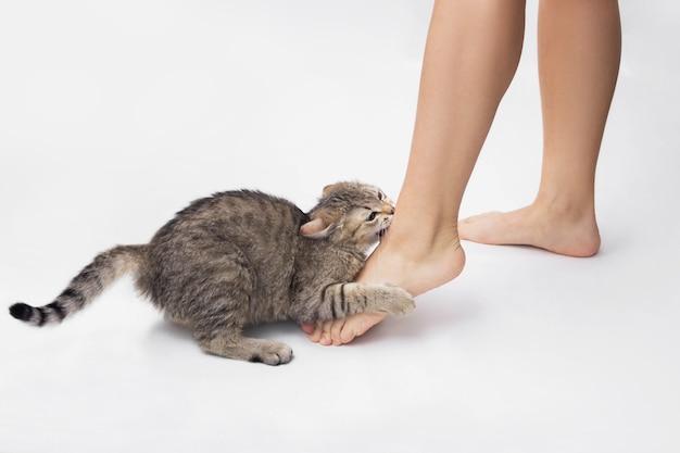 어린 얼룩 고양이가 여자의 발을 물었습니다. 귀여운 새끼 고양이 흰색 배경에 고립 된 소유자의 발을 놀고있다. 발목을 물어 뜯는 장난 꾸러기 고양이. 애완 동물의 나쁜 행동. 확대