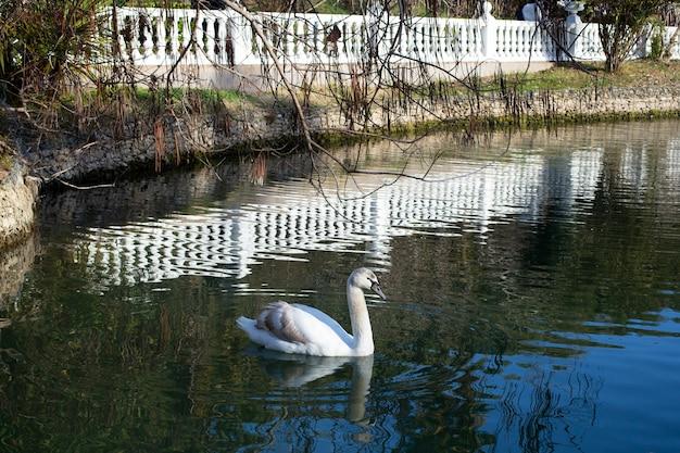 白い手すりに囲まれた池に、茶色の羽を持った若い白い白鳥が浮かんでいます。赤ちゃんの白鳥