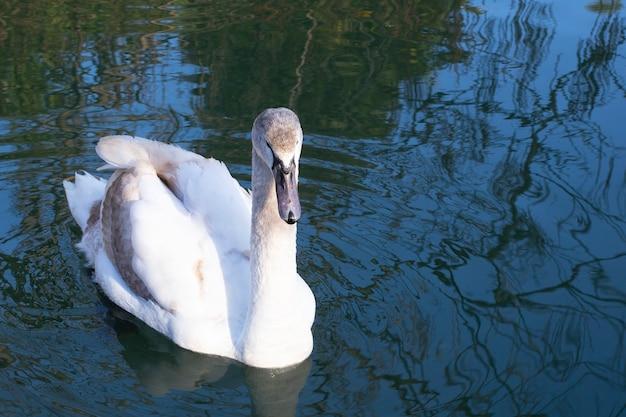 茶色の羽を持つ若い白い白鳥が青い湖を泳ぎ、水に映り、クローズアップ。赤ちゃんの白鳥