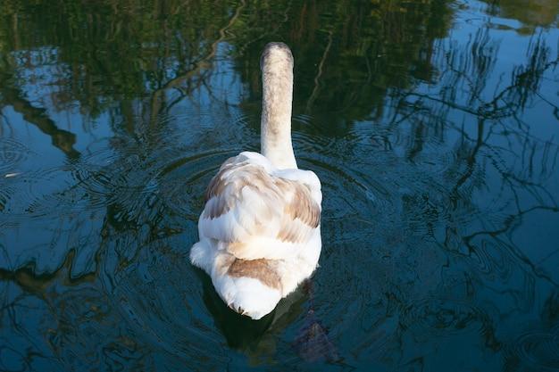 茶色の羽を持つ若い白い白鳥が青い湖を泳ぎ、水に映り、クローズアップ、背面図。赤ちゃんの白鳥