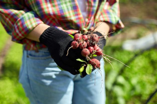 Молодая женщина в рубашке держит в руках пучок свежего красного редиса, собирает редис с вегетарианской грядки, работает на ферме.