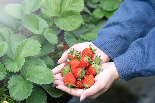 青いセーターを着た若い女性が庭で隔離された手で新鮮な季節のイチゴを拾って保持している、クローズアップ