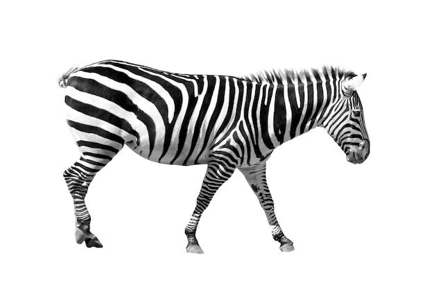 Молодая зебра стоит на белом фоне