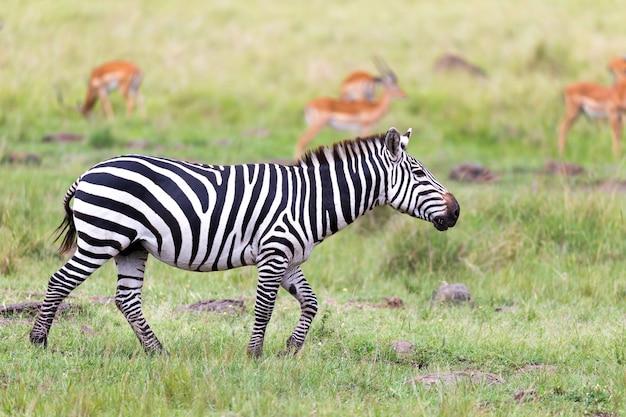 얼룩말 가족이 다른 동물과 가까운 사바나에서 풀을 뜯고 있습니다.