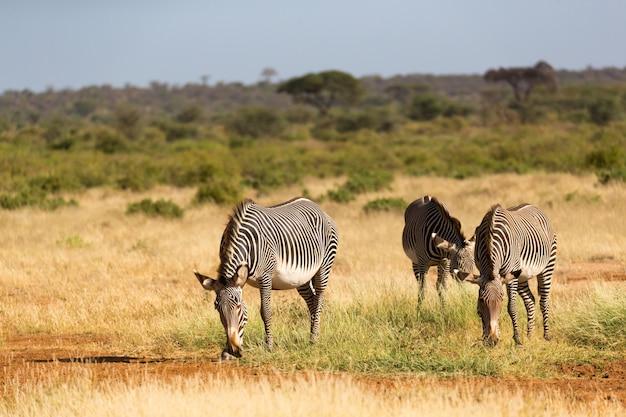 サンブルのケニアのサバンナでシマウマの家族が放牧
