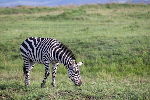ケニアの国立公園の緑の風景の中のシマウマ