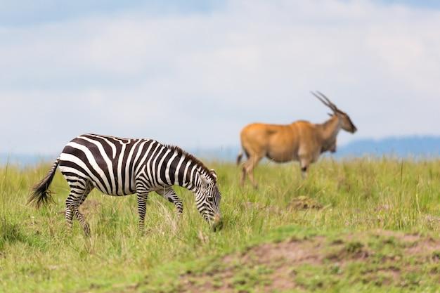 Зебра бродит по лугу в траве